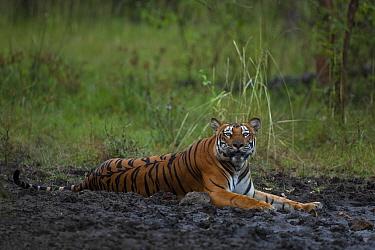 Bengal tiger (Panthera tigris) lying in mud. Nagarhole National Park, India. Photo Phillip Ross/Felis Images