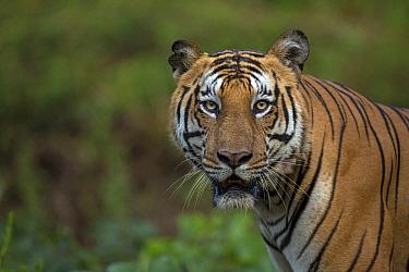 Bengal tiger (Panthera tigris) portrait. Nagarhole National Park, India. Photo Phillip Ross/Felis Images