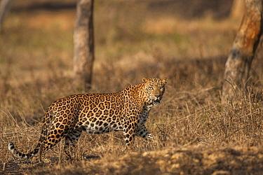Indian leopard (Panthera pardus fusca). Bandipur National Park, India. Photo Phillip Ross/Felis Images