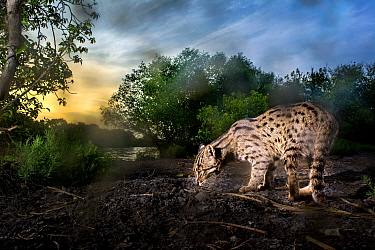Fishing cat (Prionailurus viverrinus) at water's edge, at dusk. Kakinada, Andhra Pradesh, India. Photo Anjani Kumar/Felis Images