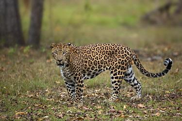 Indian leopard (Panthera pardus fusca). Nagarhole National Park, India. Photo Phillip Ross/Felis Images