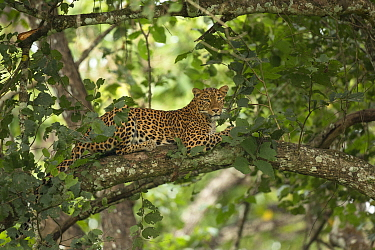 Leopard (Panthera pardus) lounging in tree. Nagarhole National Park, India. Photo Phillip Ross/Felis Images
