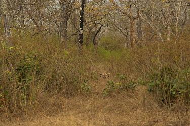 Bengal tiger (Panthera tigris) in distance, lying down amongst scrub. Bandipur National Park, India. Photo Phillip Ross/Felis Images