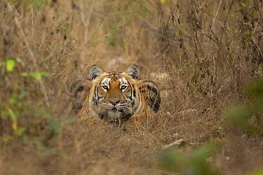 Bengal tiger (Panthera tigris) lying down, looking at camera. Bandipur National Park, India. Photo Phillip Ross/Felis Images