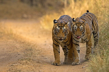 Bengal tiger (Panthera tigris), two walking along track side by side. Ranthambore National Park, India. Photo Phillip Ross/Felis Images