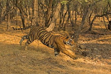 Bengal tiger (Panthera tigris) running down slope. Ranthambore National Park, India. Photo Phillip Ross/Felis Images