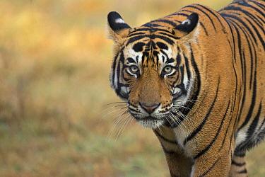 Bengal tiger (Panthera tigris), portrait. Ranthambore National Park, India. Photo Phillip Ross/Felis Images