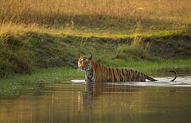 Bengal tiger (Panthera tigris) standing in water. Bandhavgarh National Park, Madhya Pradesh, India. Photo Phillip Ross/Felis Images