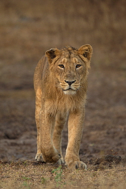 Asiatic lion (Panthera leo persica), portrait. Gir National Park, Gujarat, India. Photo Phillip Ross/Felis Images