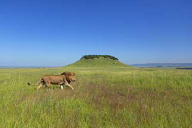 African lion (Panthera leo) male walking across savanna. Masai Mara, Kenya. 2015. Photo Phillip Ross/Felis Images