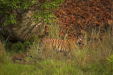 Bengal tiger (Panthera tigris) female and two cubs walking through grass, female carrying cub in mouth. Bandhavgarh National Park, Madhya Pradesh, India. Photo Phillip Ross/Felis Images