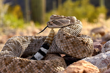 Western diamondback rattlesnake (Crotalus atrox) flicking tongue and with rattle raised. Arizona, USA. Controlled conditions.