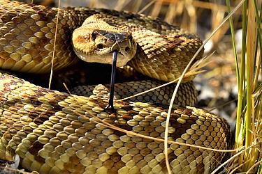 Black-tailed rattlesnake (Crotalus molossus). Chiricahua mountains, Arizona, USA. June.