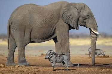 African elephant (Loxodonta africana) and Warthog (Phacochoerus africanus) waiting near waterhole. Savuti, Chobe National Park, Botswana.