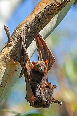 Little red flying fox (Pteropus scapulatus) female and baby, hanging with feet down to defecate. Nitmiluk National Park, Northern Territory, Australia.