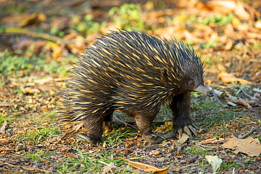 Short-beaked echidna (Tachyglossus aculeatus) foraging for ants and termites. Carnarvon National Park, Queensland, Australia.
