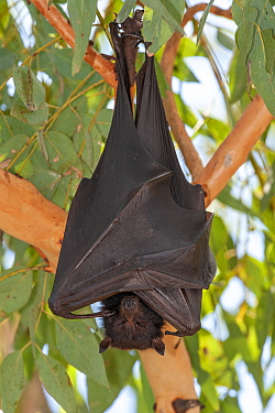 Black flying fox (Pteropus alecto) resting in tree within colony. Nitmiluk National Park, Northern Territory, Australia.