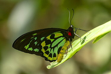 Cairns birdwing butterfly (Ornithoptera euphorion) male resting on leaf. Kuranda Butterfly Sanctuary, Queensland, Australia. Captive.