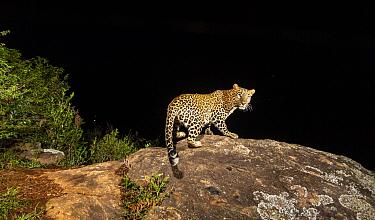 Indian leopard (Panthera pardus fusca) female on rock. Nilgiri Biosphere Reserve, India. Camera trap image.