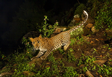 Indian leopard (Panthera pardus fusca) sub-adult. Nilgiri Biosphere Reserve, India. Camera trap image.