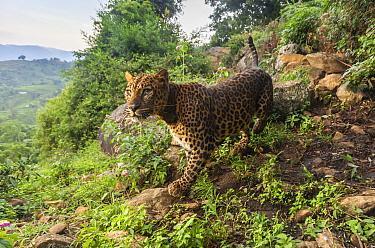 Indian leopard (Panthera pardus fusca) female walking over rocks on hillside. Nilgiri Biosphere Reserve, India. 2019. Camera trap image.