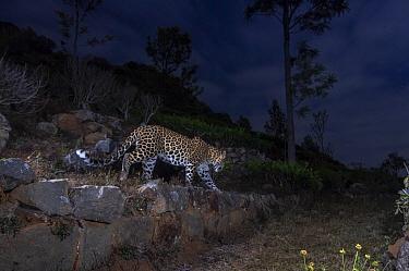 Indian leopard (Panthera pardus fusca) walking along terrace wall in tea plantation, at night. Nilgiri Biosphere Reserve, India. 2017. Camera trap image.