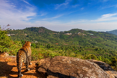 Indian leopard (Panthera pardus fusca) looking out over forested hills. Nilgiri Biosphere Reserve, India. 2017. Camera trap image.