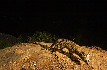 Small Indian civet (Viverricula indica) on rock. Nilgiri Biosphere Reserve, India. Camera trap image.
