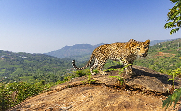 Indian leopard (Panthera pardus fusca) female on rock in tea plantation. Nilgiri Biosphere Reserve, India. 2019. Camera trap image.