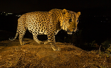 Indian leopard (Panthera pardus fusca) dominant male on rock. Lights from settlement visible in background. Nilgiri Biosphere Reserve, India. Camera trap image.