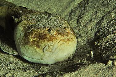 Stargazer fish (Uranoscopus sulphureus) resting on sand at night. Flores Sea, Indonesia.