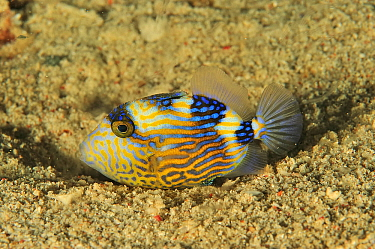 Blue triggerfish (Pseudobalistes fuscus) resting in sand on sea floor. Flores Sea, Indonesia.