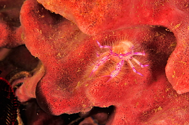 Squat lobster (Lauriea siagiani) living commensally on Barrel sponge (Xestospongia testudinaria). Flores Sea, Indonesia.