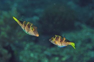 Blacksaddle filefish (Paraluteres prionurus) pair in courtship. Flores Sea, Indonesia.