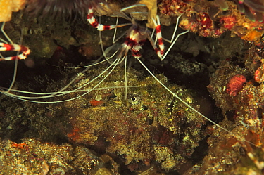 Reef stonefish (Synanceia verrucosa) camouflaged in reef with Banded coral shrimp (Stenopus hispidus). Flores Sea, Indonesia.