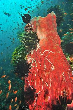 Barrel sponge (Xestospongia testudinaria) covered with Lampert's sea cucumbers (Synaptula lamperti). Crinoids and Feather stars (Crinozoa) also on Sponge. Jewel fairy basslets (Pseudanthias squami...