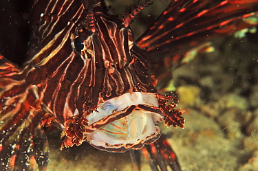 Common lionfish (Pterois volitans or miles) feeding, Bennett's sharpnose puffer (Canthigaster bennetti) in mouth. Flores Sea, Indonesia.