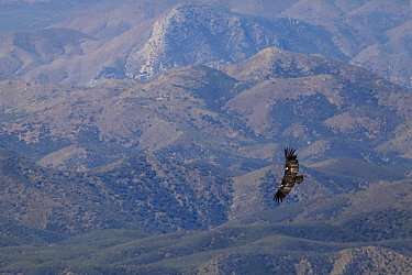 California condor (Gymnogyps californianus) flying with hills in background. California condor recovery program, Sierra de San Pedro Martir National Park, Baja California Peninsula, Mexico. November.