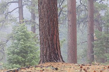 Jeffrey pine (Pinus jeffreyi) and White Fir (Abies concolor) forest. Sierra de San Pedro Martir National Park, Baja California Peninsula, Mexico.