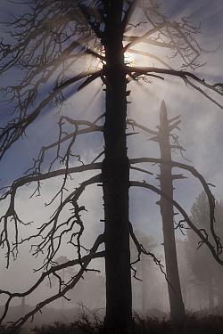 Pine (Pinus sp), dead tree silhouetted in mist. Sierra de San Pedro Martir National Park, Baja California Peninsula, Mexico, May