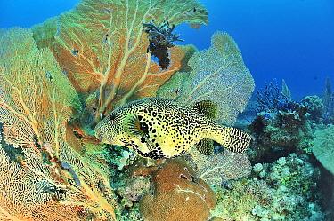 Mappa pufferfish (Arothron mappa) in front of Giant seafans / gorgonians (Annella mollis). Indian Ocean, Madagascar.