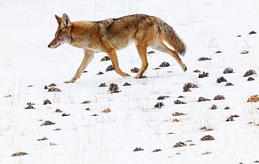 Coyote (Canis latrans) walking in the snow amongst pinecones. Sierra de San Pedro Martir National Park, Baja California Peninsula, Mexico. December. Digitally enhanced image.