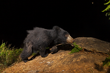 Sloth bear (Melursus ursinus) sub-adult walking on rock. Nilgiri Biosphere Reserve, India. Camera trap image.