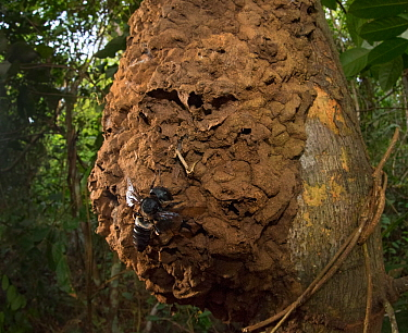 Wallace's giant bee (Megachile pluto) and nest on tree trunk. North Moluccas, Indonesia.T his is the only photo that is known to exist of this species (the world's largest bee) in the wild, in situ, a...