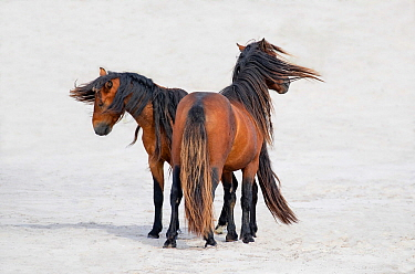 Sable Island horse, two stallions standing on beach, on windy day. Sable Island, Nova Scotia, Canada. August.