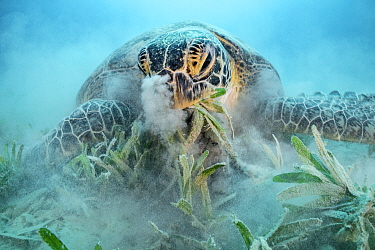 Green turtle (Chelonia mydas) feeding on Seagrass (Halophila stipulacea), blowing sand out of nostrils, on sea floor. Marsa El Shouna, Marsa Alam, Egypt.