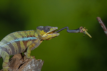 Panther chameleon (Furcifer pardalis) catching Locust with tongue. Controlled conditions.