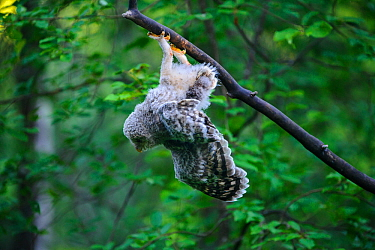 Ural owl (Strix uralensis) fledgling hanging upside down from branch after losing balance, owlets' first day out of nest. Tartumaa County, Southern Estonia. June.
