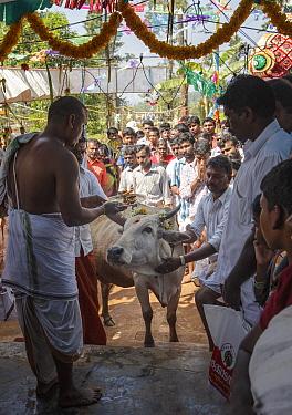 Men blessing cow in Kumbhabhishekam, a Hindu ritual. Pandalur, Tamil Nadu, India. 2014.