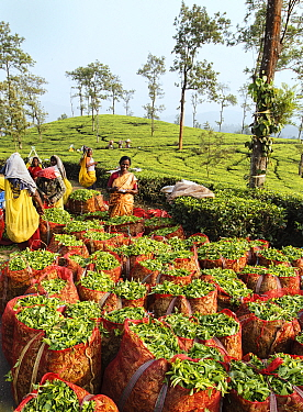 Tea (Camellia sinensis) leaves in sacks, women counting bags and picking in background. Carolyn Tea Estate, Mango Range, The Nilgiris, Tamil Nadu, India. 2014.